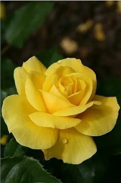 Landscaping yellow rose flower, yellow roses and sunflowers, ye. Yellow Rose Bouquet, Yellow Rose Flower, Yellow Flowers, Amazing Flowers, Beautiful Roses, Beautiful Flowers, Yellow Rose Meaning, Rose Drawing Simple, Rose Reference