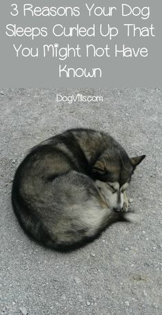 Dog Behavior 3 Reasons Your Dog Sleeps Curled Up That You Might Not Have Known - Ever wonder why your dog naps in a ball? Check out 3 reasons your dog sleeps curled up that you may not have known about! Dog Separation Anxiety, Dog Anxiety, Anxiety Tips, Sleep Curls, Dog Care Tips, Pet Care, Sleeping Dogs, Dog Training Tips, Training Quotes