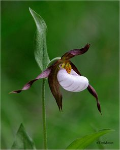 Mountain Lady's Slipper, a rare wild flower, photographed by Tom Munson.