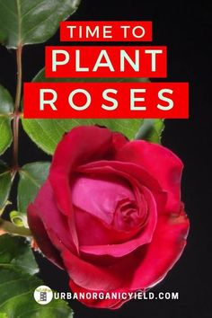 When is the best time to plant roses? As a perennial plant, a rose bush can bear vibrant flowers year after year.  In this article, we talk about the best time to plant your roses in the garden. #flowers #plants #gardening #roses