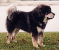 Tibetan Mastiff - Thank gosh Mo has Australian Shepherd in him, he would be huge.  No wonder they thought he was a St. Bernard.