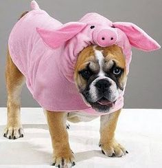 English bulldog wearing a pig costume - @Cindy Anderson