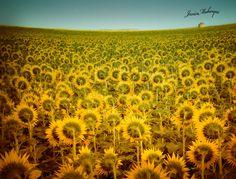 """""""This is what convinced me to spend my vacation in Necochea: 'There are sunflower fields as far as the eye can see.' They weren't lying!"""" // Esto fue lo que me convenció de pasar mis vacaciones en Necochea """"hay campos de girasoles hasta donde alcanza la vista"""" y no mentían. — Javier Mubarqui"""