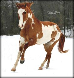 Paint Horse in the snow, what could possibly be more beautiful?!!