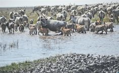 A gulya óvodát tart, ahol a borjakat nevelik és védik. Vezér tehenek vívják ki posztjukat és irányítják a gulya életét.