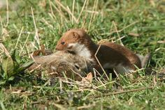 Weasel – Mustela nivalis – Wildlife Photography