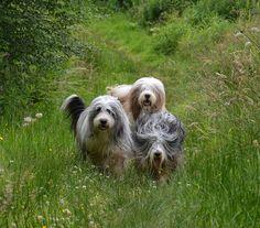 Beardie bunch. Photo by babskenara, via Flickr