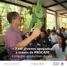 +7 mil jóvenes apoyados a través de PROCAFE e impulso productivo al café. SAGARPA SAGARPAMX #MéxicoSiembraÉxito