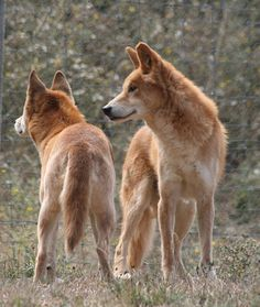 Dingo Sanctuary Open Days - July & August | Australian Dog Lover
