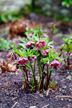These Are The Flowers That'll Thrive in Your Shady Yard Lenten Rose shade perennials backyard garden Best Perennials For Shade, Flowers Perennials, Shade Flowers Perennial, Hardy Perennials, Comment Planter Des Roses, Shade Garden Plants, Flowering Plants For Shade, Best Shade Plants, Planters For Shade