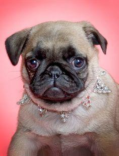Princess Pug - I sure do like that pretty collar!