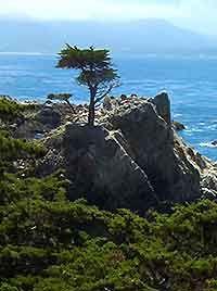 Monterey Cypress on California's central coast.
