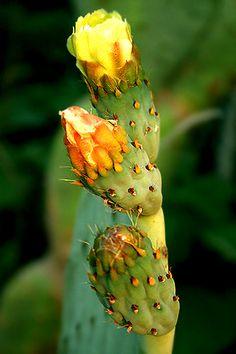 Cactus Blooms - We're Peruvian Chocolate. Amazon!http://www.amazon.com/gp/product/B00725K254