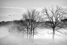 Geese On A Misty Morning by Marcia Colelli