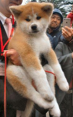 Japanese Akita, Japanese Dogs, Super Cute Puppies, Cute Dogs, Shiba Inu, Japanese Dog Breeds, Japon Tokyo, American Akita, Hachiko