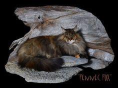 Breeding Queen Maine Coon Cats of Congocoon:  Fennec Fox