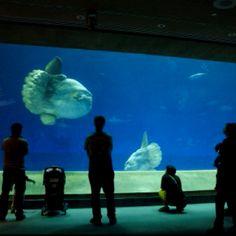 Monterey Bay Aquarium MOLA MOLA SUN FISH