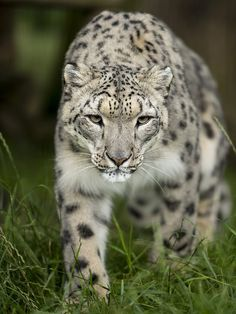 Snow Leopard by Colin Langford**
