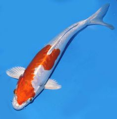 "Live koi fish 9-10"" Orange-White Kikusui Koibay"