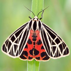 Virgin Tiger Moth. Check out Gable and Morgan's review of Elizabeth Enright's Then There Were Five here: http://chaptersandscenes.wordpress.com/2014/06/14/gable-and-morgan-review-then-there-were-five/