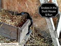 Snake in the Duck House! 6 Tips to Repelling Snakes. (Love the sulphur and cayenne pepper solution)