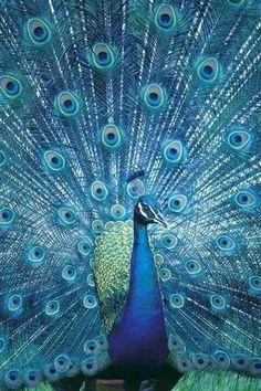 by Jason Busch,Cerulean Peacock,孔雀 クジャク Pretty Birds, Love Birds, Beautiful Birds, Animals Beautiful, Cute Animals, Beautiful Pictures, Exotic Birds, Colorful Birds, Exotic Pets