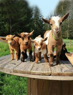 The Terrible Truth About Adorable Baby Goats Kids galore! And yeah, goats can be jerks. But that's what makes them so lovable.(said as a non-goat owner). Happy Animals, Cute Baby Animals, Animals And Pets, Funny Animals, Cabras Animal, Cute Goats, Mini Goats, Baby Goats, Tier Fotos