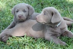 Silver Lab puppies-Louisiana Silver Labradors