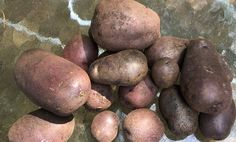 Blue potatoes are becoming a favorite at our house. I need to grow more of them next year.