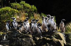 You will get to see these friendly penguins on the tour :) Cap Horn, Les Fjords, Gaucho, Round Trip, Wildlife, Tours, Birds, Landscape, Animals