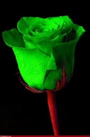 The Irish Shop, Purveyor of traditional Irish Food Products Green Rose, Green Flowers, Green Colors, My Flower, Flower Power, Ronsard Rose, Mean Green, Beautiful Rose Flowers, Rose Pictures