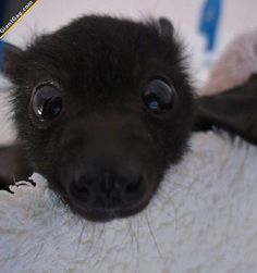 Baby Bats Are Adorable | Click the link to view full image and description : )