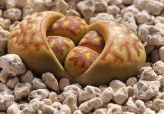 Lithops Dorotheae 20 semillas