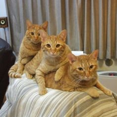 for the beauty of orange tabbies
