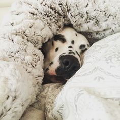 Friday and cold? Im not getting out of bed! Sorry  // viernes y hace frío? No voy a salir de la cama lo siento!  #dog_features #my_loving_pet #excellent_dogs #topdogphoto  #instagrampetphotos #showcasing_pets #bestwoof #weeklyfluff #dogsofinstagram #cutepetclub #sendadogphoto #animaladdicts #lacyandpaws  #animaldisplay #doglovers #igcutest_animals #dog #dalmata #dalmatianworld #dalmatians_of_instagram  #greatpyrenees #puppy  #allcutepets #dalmatian #dalmatiandog #dalmatian_pics…