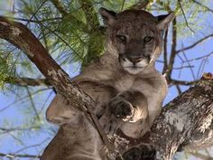 A male Florida panther looks down from a tree (Image courtesy of Larry W. Numbers are increasing due to introduction of just 8 females from Texas & efforts to preserve habitat. Go genetic diversity! Majestic Animals, Animals Beautiful, Big Cat Species, Beast Friends, Panther Pictures, 10 Interesting Facts, Florida Panthers, Tree Images, Mountain Lion