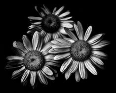 https://flic.kr/p/iLYNqg | Backyard Flowers In Black And White 12 | A series of black and white photographs of flowers grown in our backyard and in the gardens of our neighbourhood here in Toronto Canada.  Canon EOS 60D body with a Sigma 17-70mm f2.8 DC Macro OS lens. Silver EFEX Pro as a Lightroom plugin for the B&W conversion.   Shameless Self Promotion: Website | Facebook | Twitter | Google+ | Tumblr | Pinterest Prints: Fine Art Americ...