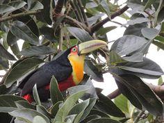 Nha-pekanga: Aves de Ilhabela-SP - Tucano-de-Bico-Verde ( Ramph...