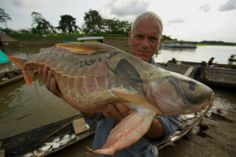I have no idea what this is, looks like a hybrid.Jeremy Wade caught this fish! ITS AMAZING! From River Monsters. Jeremy Wade, John Wade, Shark Pictures, Shark Photos, Fishing Pictures, River Monsters, Sea Monsters, Weird Creatures, Sea Creatures