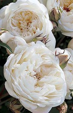One of my favorite David Austin English roses-- smells like pepper!
