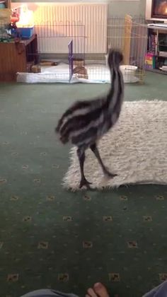 Ever wonder what a baby emu looks like while playing with a dog? - 9GAG