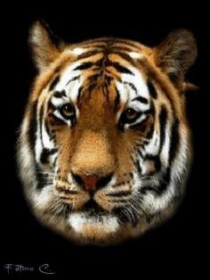 3-D Wild cats gifs   Tiger 3D