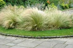 Nassella Mexican Feather is available for online purchase from F&B Farms Mexican Feather Grass, Fuzz, Online Purchase, Farms, Perennials, Outdoor Gardens, Landscape, Check, Plants