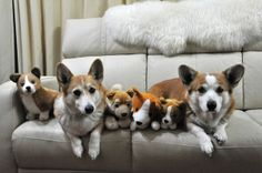 In all manifestations, Corgis are cute. Can you tell the toy Corgis from the real Corgis?