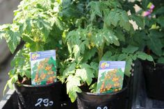 Az egyik leghálásabb és ennél fogva gyakori hobbikerti növény a paradicsom. Bemutatom a legfontosabb tudnivalókat a sikeres és bőséges termesztéshez. Green Garden, Garden Plants, Lush Green, Container Gardening, Herbs, Herb, Container Garden, The Green Garden, Medicinal Plants