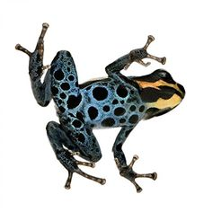Poison Dart Frog - Ranitomeya Amazonica or Dendrobates Amazonicu Wall Decal - 36 Inches H x 36 Inches W - Peel and Stick Removable Graphic