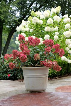 'Fire Light' will become the new standard to measure all hardy hydrangeas against. Upright panicles are packed with florets that transform from pure white to rich pomegranate-pink. Its thick, sturdy stems look just as great in containers as they do in the garden. 'Fire Light' will reach nearly 3 feet in height, and is hardy to zone 3.