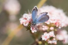 The San Emigdio Blue Butterfly or Plebejus emigdionis. Considered extremely rare and an endangered species classified as G3 by the NCGR