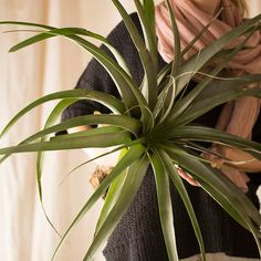 Giant Tillandsia, Large in Garden Plants + Flowers at Terrain