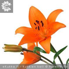 Tarhasarjaliljat, Lilium Hollandicum-Ryhmä